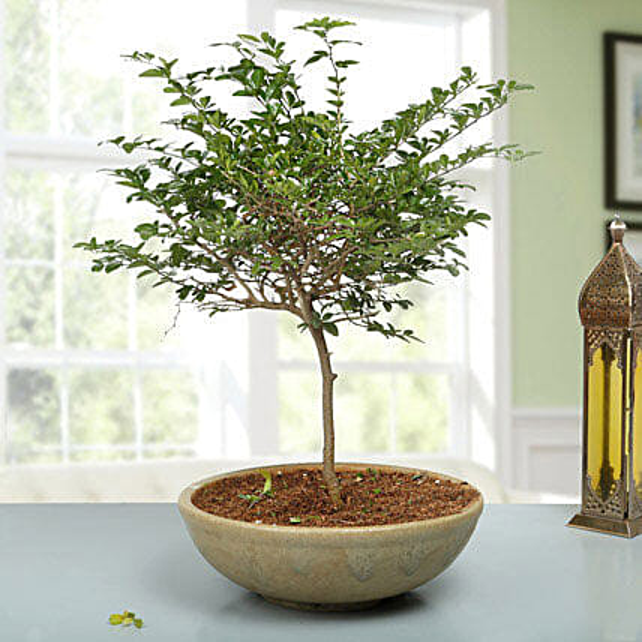 Traditional Elaichi Nimbu Bonsai Plant: New Baby