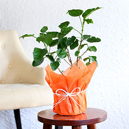 Tropical Hibiscus Plant: Outdoor Plants