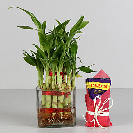 Two Layer Bamboo Plant & Cadbury Dairy Milk Chocolates: Lucky Bamboo Plants