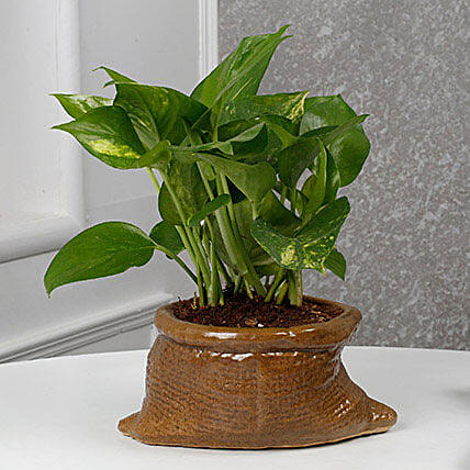 Cheerful Money Plant: Money Tree