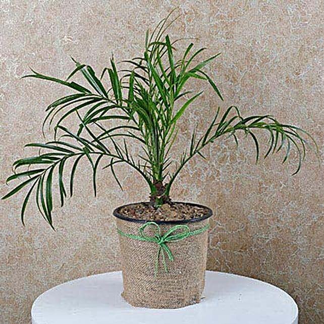Decorative Phoenix Palm Plant: Air Purifying Plants