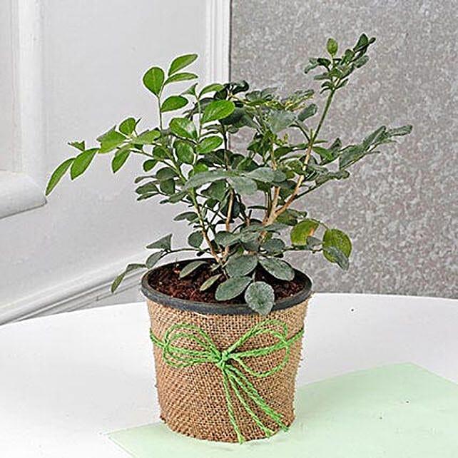 Evergreen Muraiya Exotica Dwarf Plant: