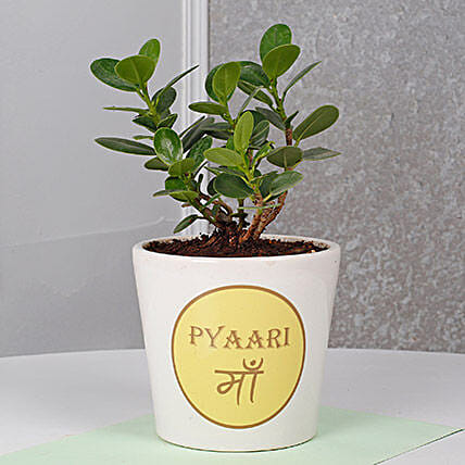 Ficus Dwarf Plant For Mom: Air Purifying Plants