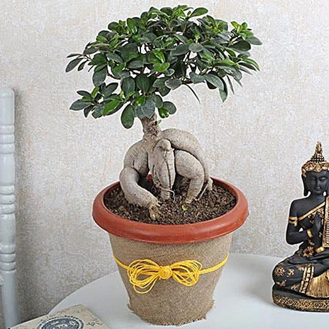 Ficus Microcarpa Bonsai 1000gm: Potted Plants