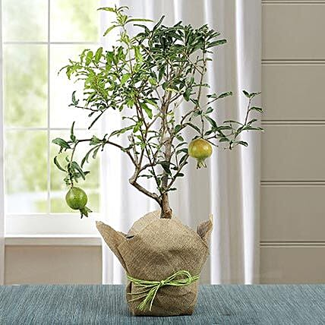 Lovely Bonsai Pomegranate Plant: Outdoor Plants