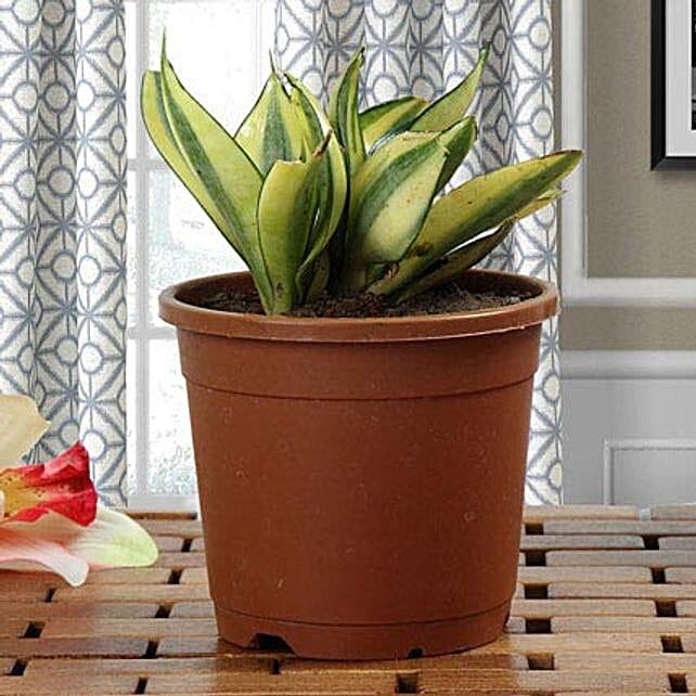 Lush Green Sansevieria Plant: