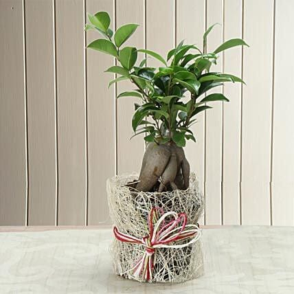 Potted Ficus Bonsai Plant: Best Gifts to India