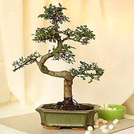 Thoughtful Elm S Shape Bonsai Plant: Send Gifts to Latur