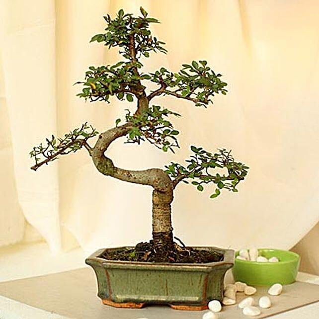 Thoughtful Elm S Shape Bonsai Plant: Send Gifts to Thoothukudi