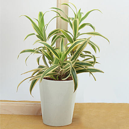 Song Of India Air Purifying Plant: Air Purifying Plants