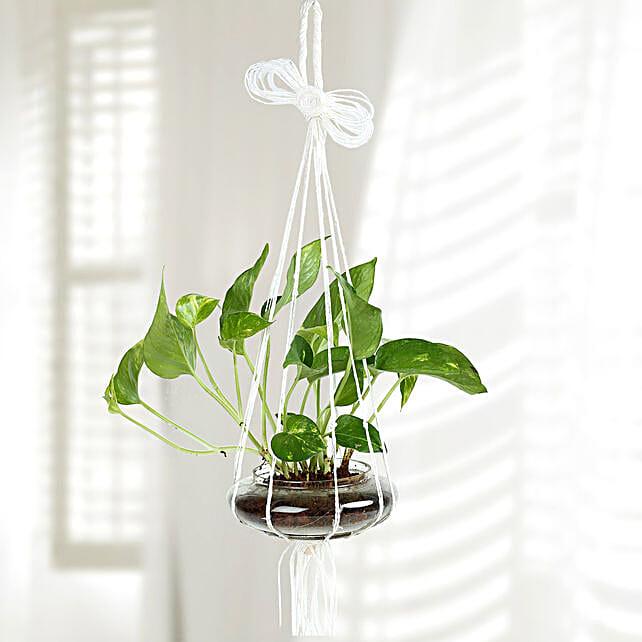 Evergreen Hanging Money Plant Terrarium: Money Tree
