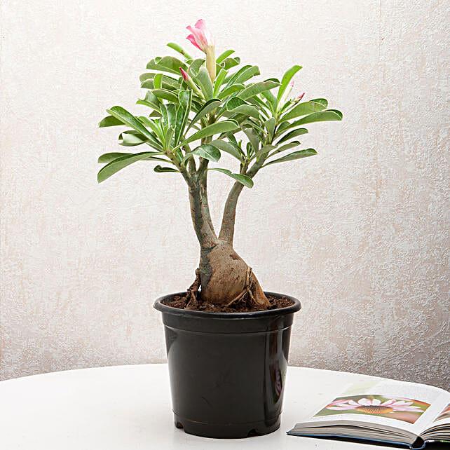Adenium Desert Rose: Flowering Plants