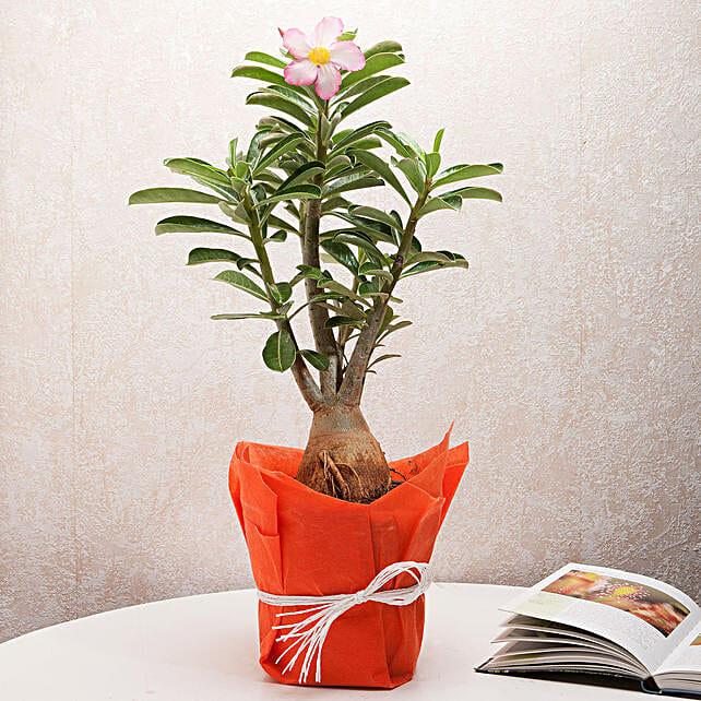 Desert Rose Adenium Plant: Flowering Plants