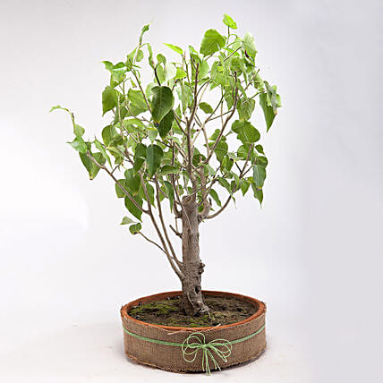 Paras Peepal Bonsai Plant in Terracotta Circular Tray: Good Luck Plants