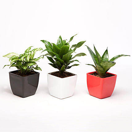 Set of 3 Green Plants in Plastic Pots: Cactus and Succulents Plants