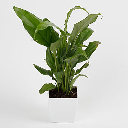 Peace Lily Plant in Imported Plastic Pot: Potted Plants