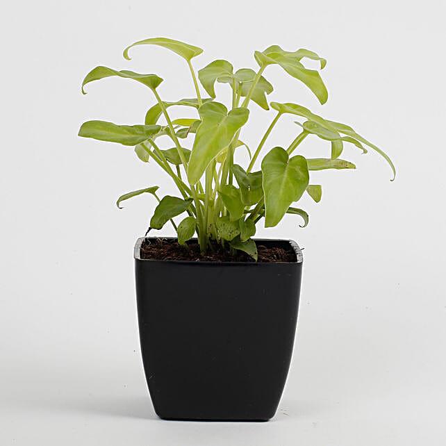 Xanadu Philodendron Golden Plant in Imported Plastic Pot: Flowering Plants