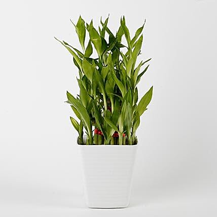 3 Layer Bamboo Plant in Striped Imported Plastic Pot: Lucky Bamboo Plants