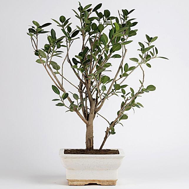 Ficus Panda Plant in White Ceramic Pot: