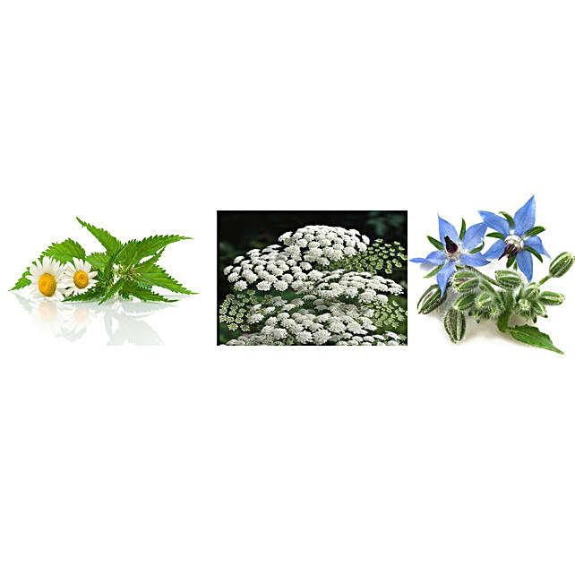 Chamomile Ammi Majus & Borage Seeds Combo: