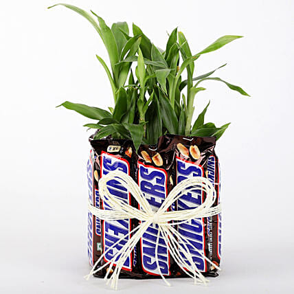 2 Layer Lucky Bamboo With Snickers: Desktop Plants