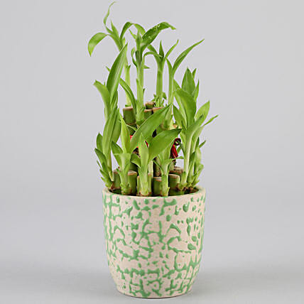 2 Layer Bamboo Plant In Green Ceramic Pot: Lucky Bamboo Plants