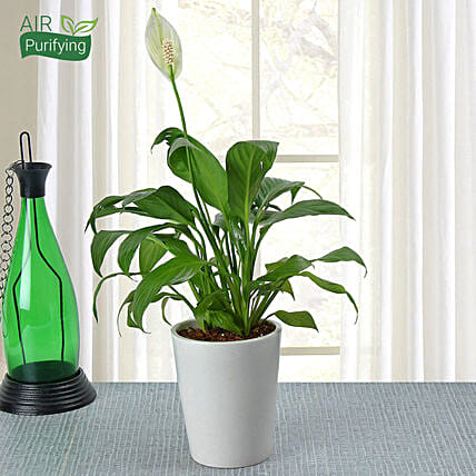 Potted Peace Lily Plant: Gifts for Taureans