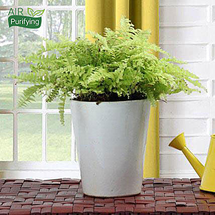 Boston Fern Potted Plant: Air Purifying Plants