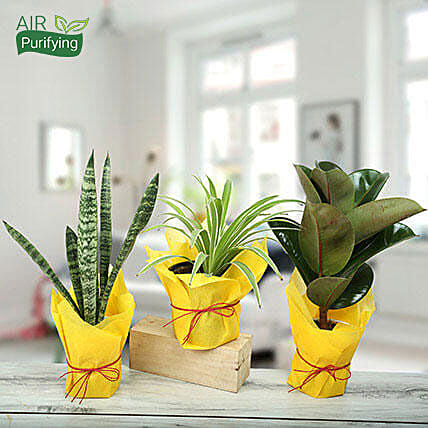 Live Green Trio Plants: