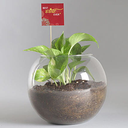 Best Sister Money Plant Terrarium: Terrariums Plants