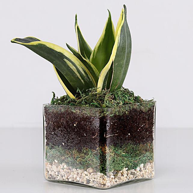 """Lotus Sansevieria Plant 3"""" Glass Terrarium: Terrariums Plants"""