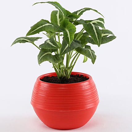 Syngonium Wendlandii In Red Pot: Buy Indoor Plants