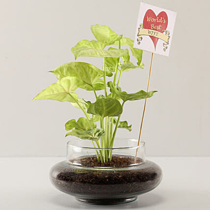 Syngonium Plant For Best Wife: Air Purifying Plants