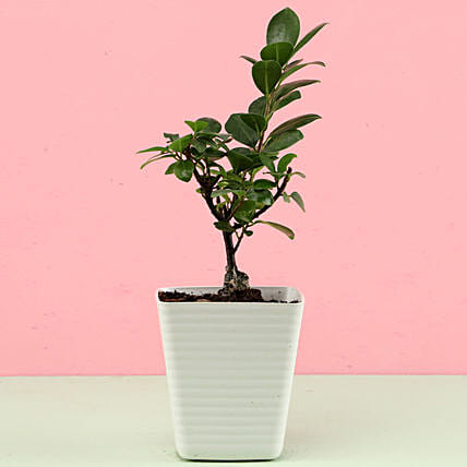 Ficus Compacta In White Pot: Buy Indoor Plants