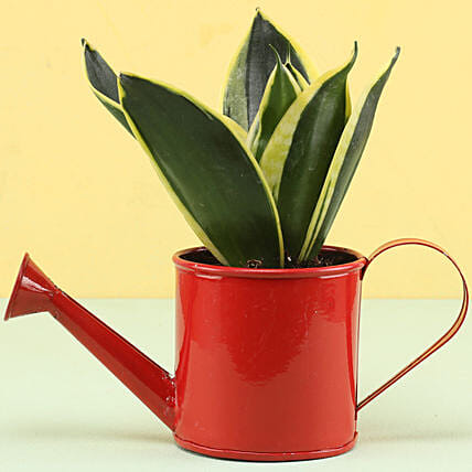 MILT Sansevieria In Watering Can Pot: Ornamental Plants