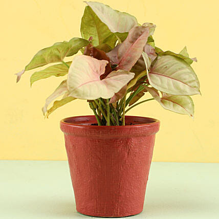 Pink Syngonium Plant In Red Pot: Ornamental Plant Gifts