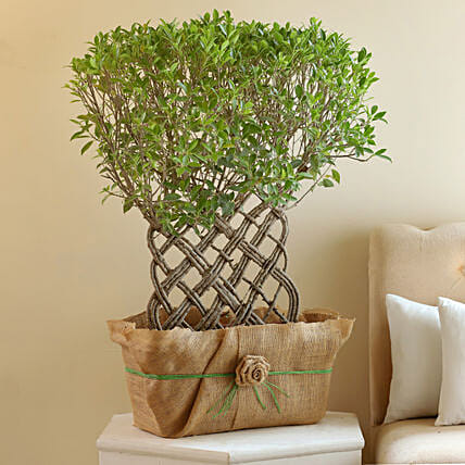 Ficus Crache Bonsai Plant: Bonsai Plants