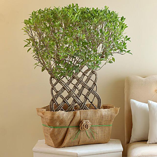 Ficus Crache Bonsai Plant: Rare Plant Gifts