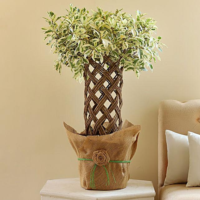 Ficus Crache Starlight Bonsai Plant: Rare Plants