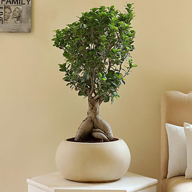 Ficus Microcarpa Bonsai in Fiber Pot: Rare Plants