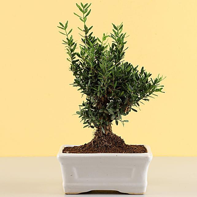 Lively Boxwood Bonsai Plant: Send Shrubs