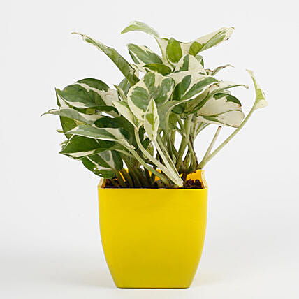 White Pothos Plant in Imported Plastic Pot: Cactus and Succulents Plants