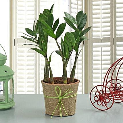 Zamia Plant: Hug Day Gifts