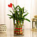 Bamboo Plant for Valentine Day