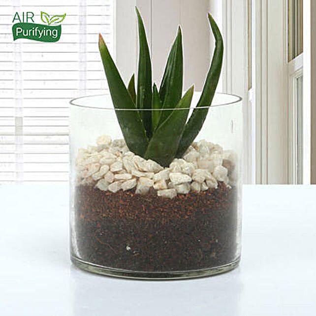 Aloe Vera Glory Terrarium Gift Aloe Vera Plant In A