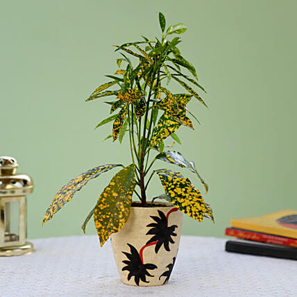 Baby Croton Plant In Ceramic Pot | Gift Online Baby Croton Plant For  Mothers Day - Ferns N Petals