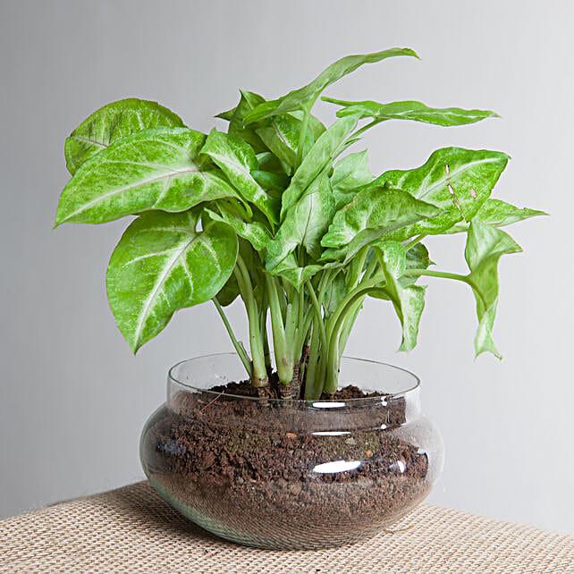 Classic Syngonium Golden Plant Terrarium Gift Syngonium