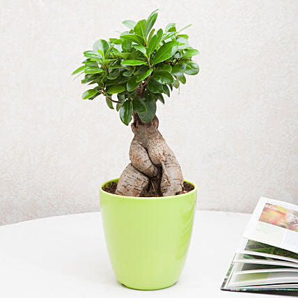 exotic ficus ginseng bonsai plant gift ficus ginseng bonsai plant in an off white vase ferns. Black Bedroom Furniture Sets. Home Design Ideas