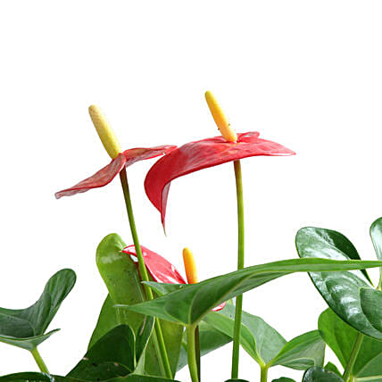 Lovely Anthurium Plant