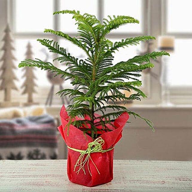 My Christmas Plant